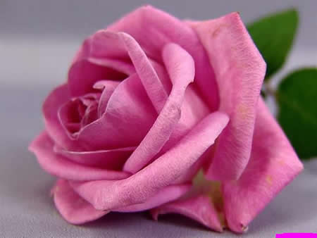 gorgeous-rose-flowers-wallpapers-85